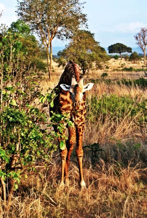 unsere erste Giraffe