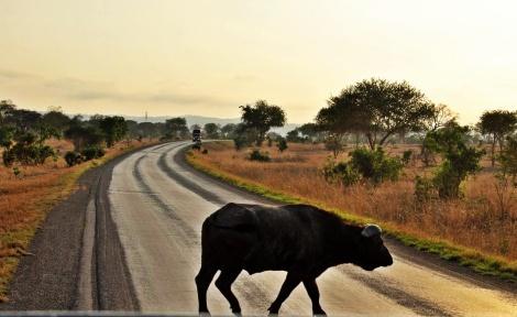Wasserbüffel spaziert gemütlich über die öffentliche Landstraße