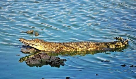 """eines von vielen Krokodilen im """"Hippo Pool"""""""