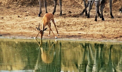 Impala beim Trinken am Wasserloch