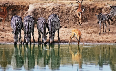 Zebras leisten dem Impala am Wasserloch Gesellschaft