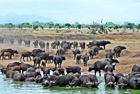 Wasserbüffel-Wanderung