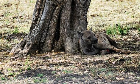 verletzte Hyäne