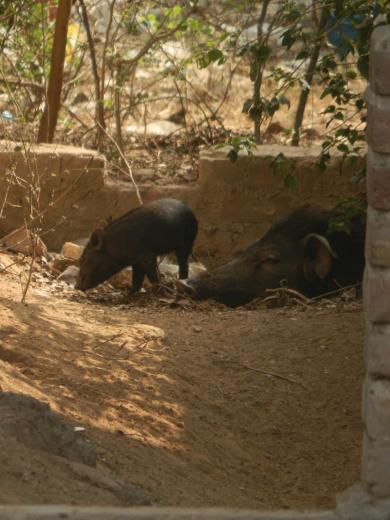 überall Schweine in Gurgaon