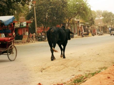Rind in den Straßen von Najafgarh