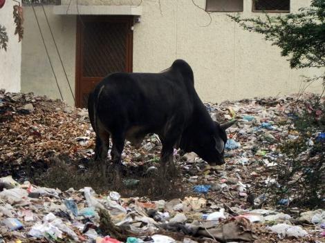 Rind stöbert im Müll