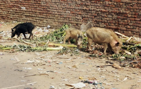 Schweine wühlen im Müll