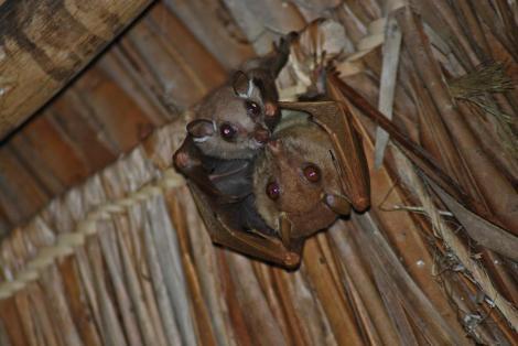 Familie Fledermaus wohnte mit uns unter einem Dach