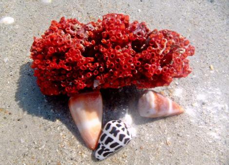 Coralle & Muscheln